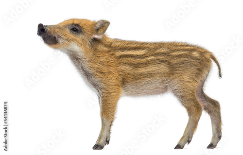 Side view of a Wild boar, Sus scrofa, looking up, isolated