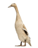 Female Indian Runner Duck, Anas platyrhynchos domesticus