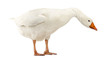 Domestic goose, Anser anser domesticus, looking down