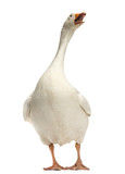 Domestic goose, Anser anser domesticus, standing and looking up