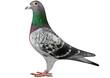 Racing Pigeon - 54438055