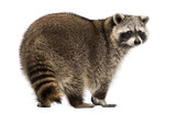 Rear view of a Racoon, Procyon Iotor, standing, isolated