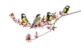 Group of Male great tits, Parus major, isolated