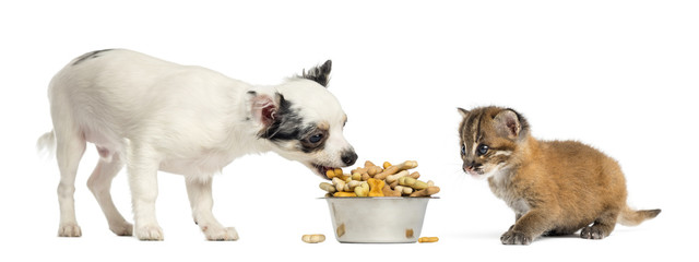 Chihuahua puppy eating from a bowl and Asian golden cat, isolate