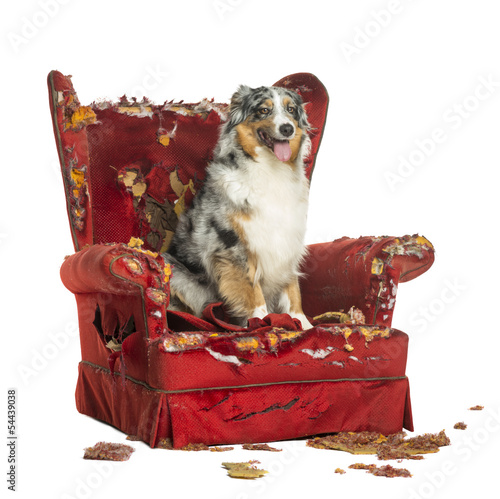 Australian Shepherd sitting on a detroyed armchair, isolated