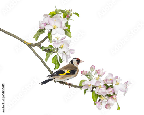 European Goldfinch, carduelis carduelis, perched on a branch