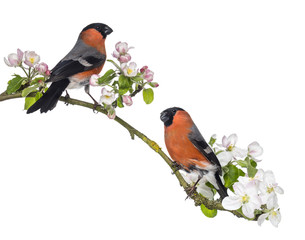Bullfinches perched on a blossoming branch, isolated on white
