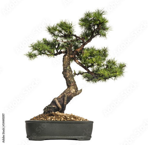 Plexiglas Bonsai Larch bonsai tree, Larix, isolated on white