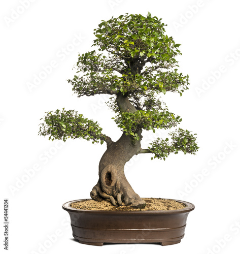 Aluminium Bonsai Celtis bonsai tree, hackberries, isolated on white