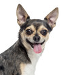 Close up of a Chihuahua sticking the tongue out, isolated on whi