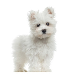 Maltese puppy standing, looking at the camera, 2 months old