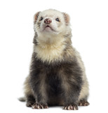 Ferret, sitting, isolated on white