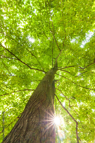 green leaves of beech