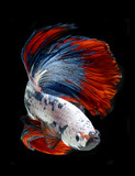 siamese fighting fish, betta fish on black background