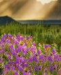 Lupine Wildflowers at the base of the Teton Mountains