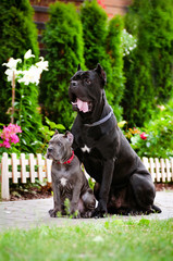 cane corso dog with a puppy