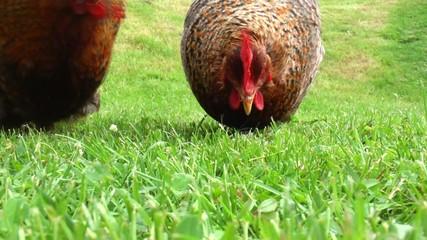 hühner picken im grünen gras