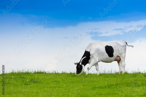 Aluminium Koe Cow eating grass