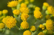 Dune ragwort in bloom.