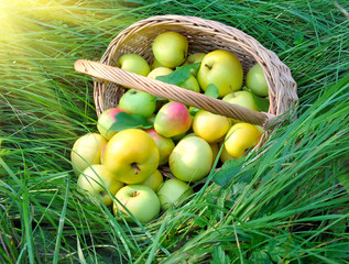 Healthy organic apples in the basket on a green grass