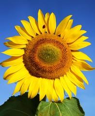Blüte der Sonnenblume