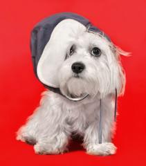 Maltese dog in a cap