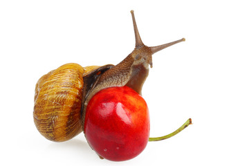 Snail on the sweet cherry