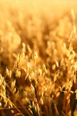 Golden ears of oat on the field.