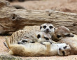 Meerkats sleeping