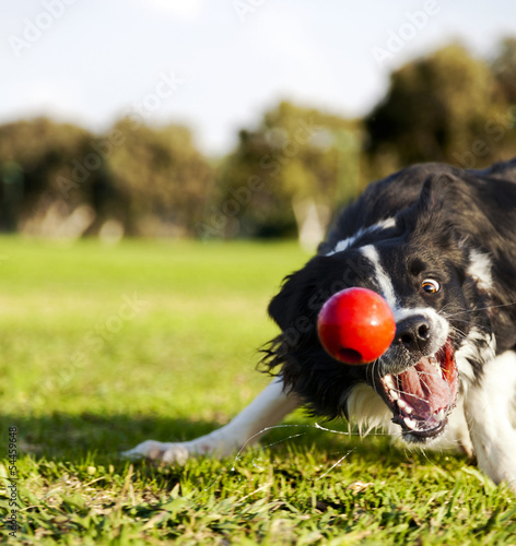 Border Collie Fetching Dog Ball Toy at Park