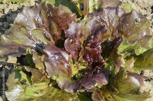 laitue, salade, variete Kamicaze, Lactuca sativa