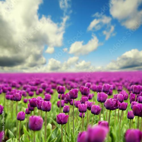 Naklejka Tulipany wiosna