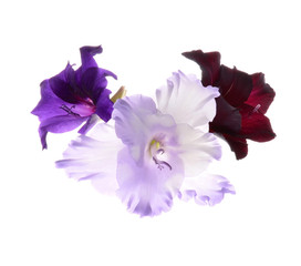 gladiolus flowers isolated on white background..