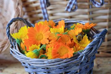 Сорванные цветки календулы лежат в корзинке