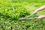 Trimming shrubs scissors