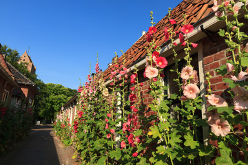 Alcea rosea flowers in a village street.