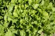 laitue, salade, variete Grosse Bouclée, Lactuca sativa