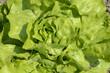 laitue, salade, variete Sagess, Lactuca sativa