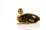 The little duck on a white background