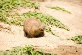 Very cute marmot winks and pokes his tongue out at you poster