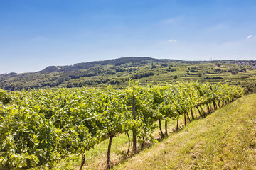 Vineyards landscape in Wachau