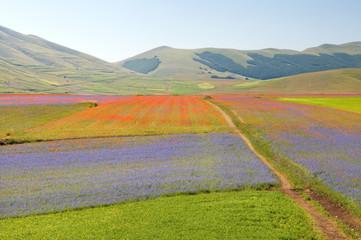 Fiori sui campi di lenticchie a Castelluccio