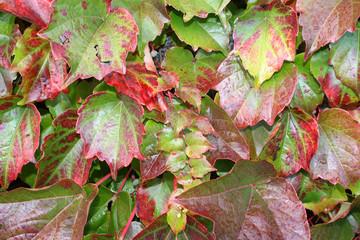 Wilder Wein (Parthenocissus tricuspidata)