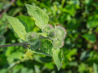 Details of Lesser burdock flower heads