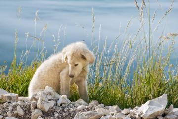 Cucciolo di cane pastore - puppy shepherd dog