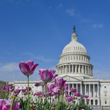 Capitol Building in Washington DC with tulips foreground