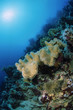 SUDAN, Red Sea, U.W. photo, soft coral
