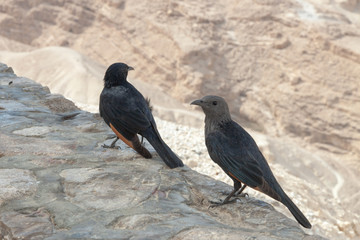 Pair of young, male and female, Tristram's Starling