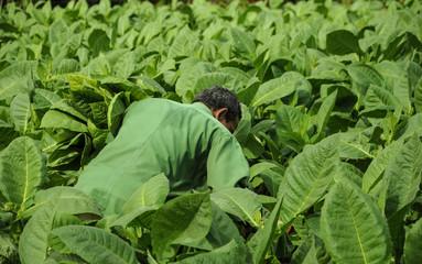 man working on tobacco fields in cuba