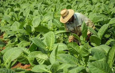 man working on tobacco fields in cuba